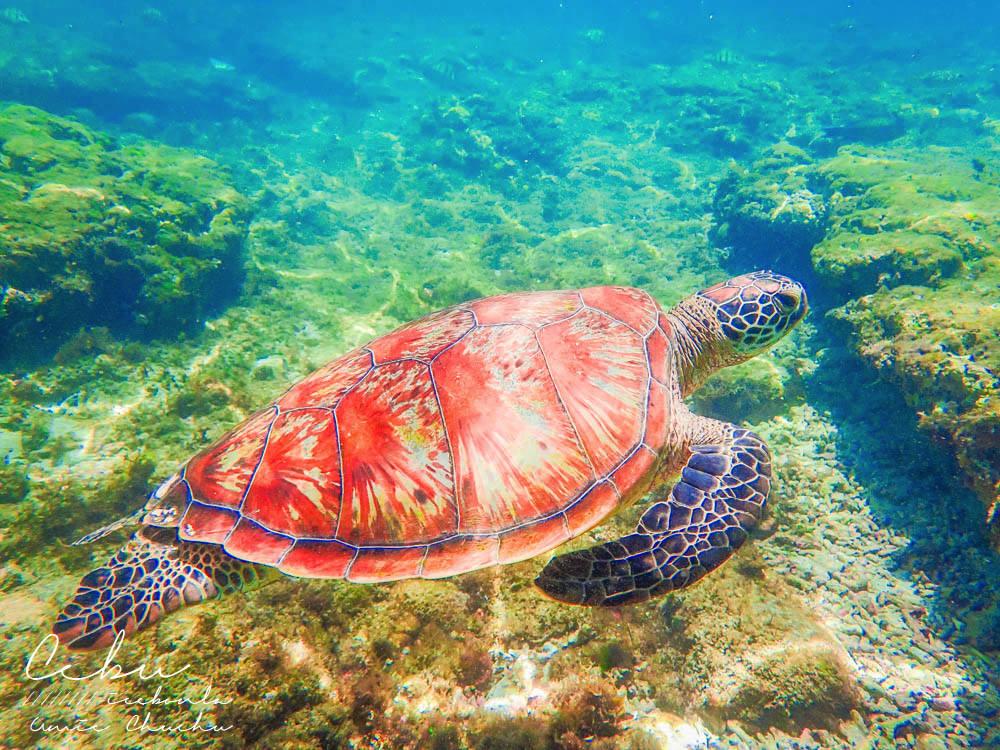 宿霧自由行,海島旅行,鈦美,宿霧海龜,浮潛海龜,阿波島海龜,杜馬蓋地海龜,宿霧度假