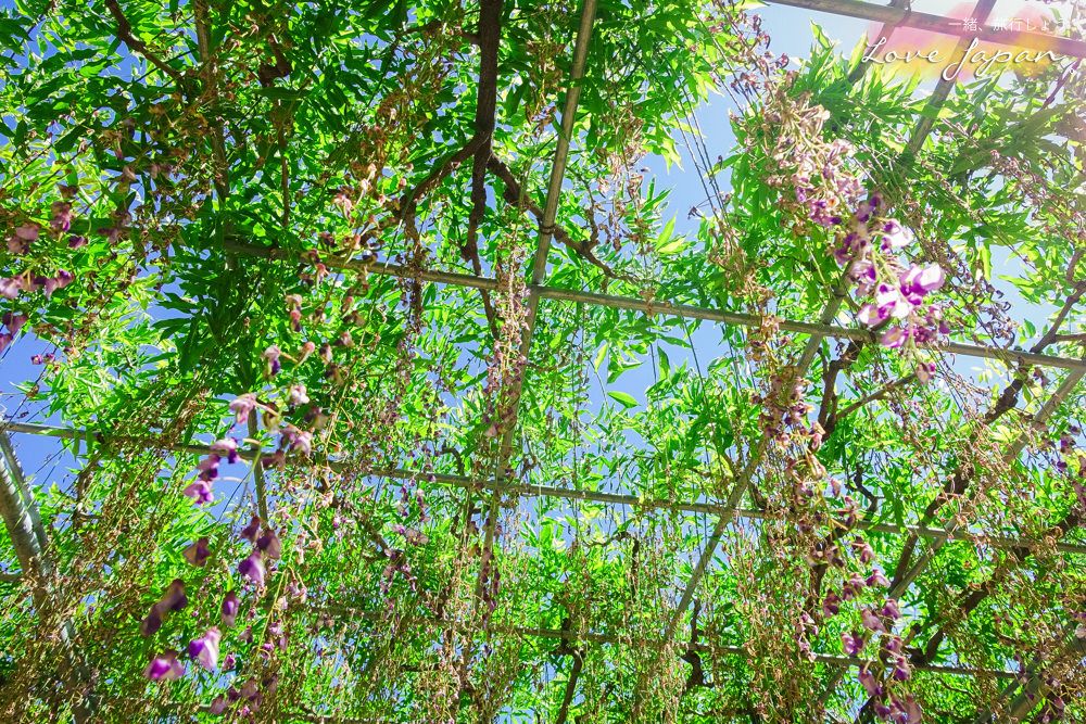 東京自由行,日本紫藤花,足利紫藤花,足利公園,足利花卉,東京好玩,東京住宿推薦,東京飯店推薦,東京景點