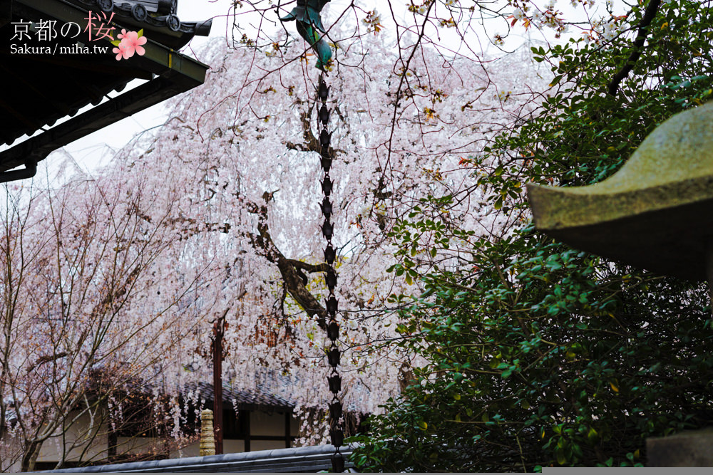 京都賞櫻,京都自由行,京都櫻花,京都賞櫻景點,本滿寺垂枝櫻