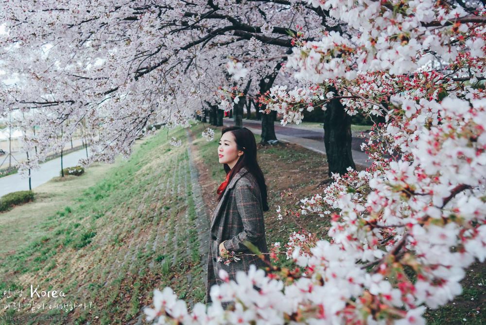 釜山自由行,釜山賞櫻,韓國櫻花,釜山櫻花,釜山景點,釜山好玩,